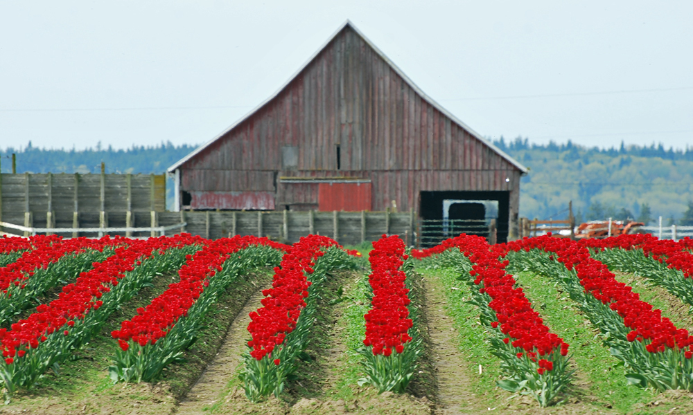 Skagit Valley tulips Seattle