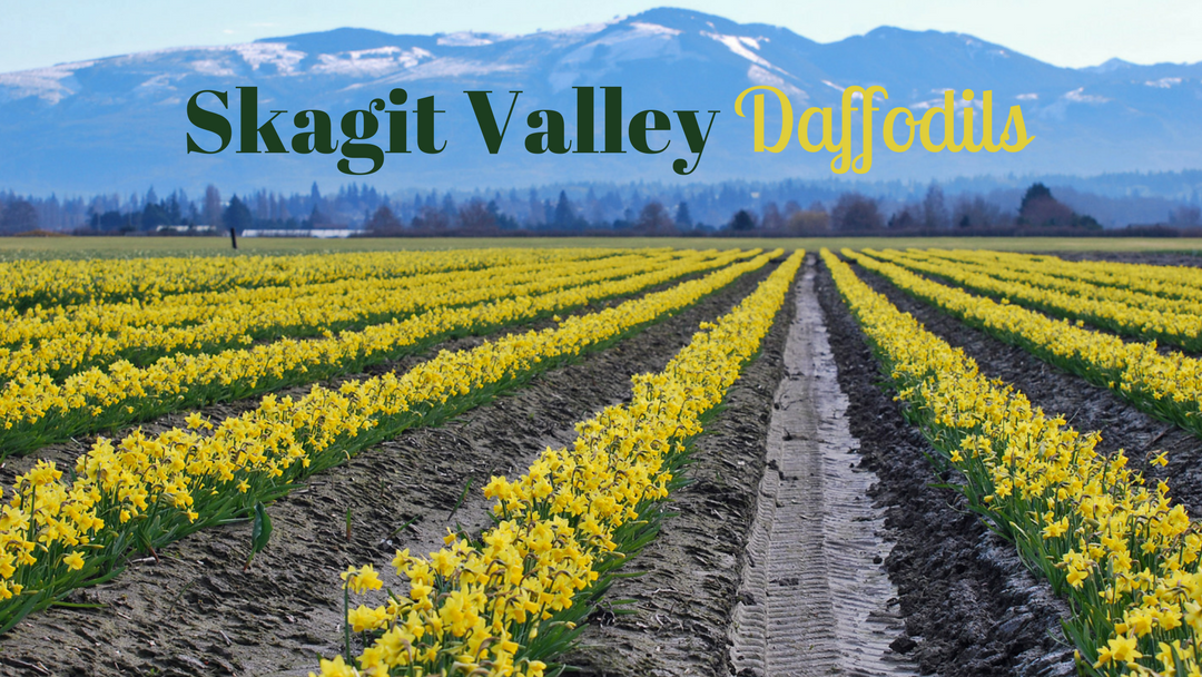 Skagit Valley Daffodils | Seattle Photo Op