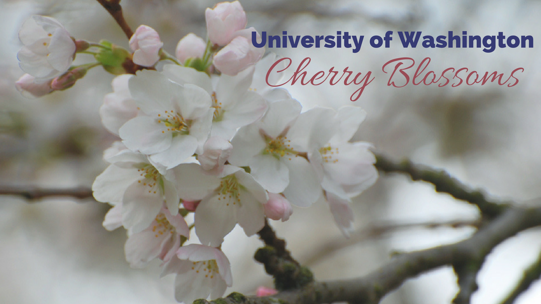 University of Washington Cherry Blossoms | Seattle Photo Op