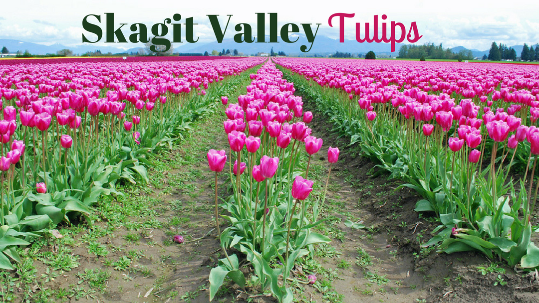 Skagit Valley Tulips Seattle photo op